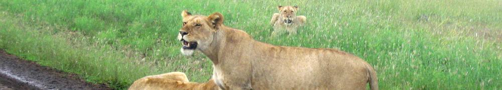 lion2.jpg Tanzania travel and tours, Serengati wildlife safaris, Hotels mount kilimanjaro climbing Desert Safari, safari