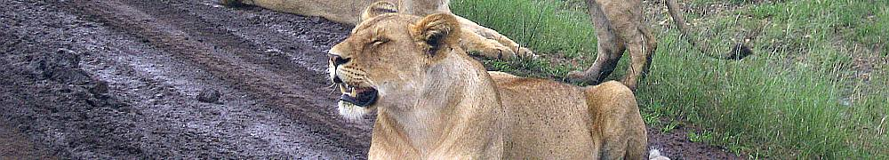 lion3.jpg Tanzania travel and tours, Serengati wildlife safaris, Hotels mount kilimanjaro climbing Desert Safari, safari